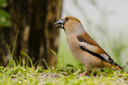 Hawfinch bird sitting on the ground in a forest