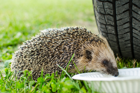 West European hedgehog Erinaceus europaeus drinking from a plate Stock Photo