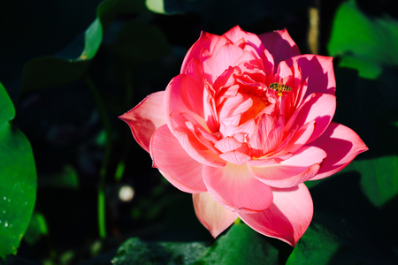 bee on flower: Lotus flower and bee