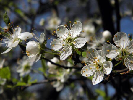 flor: Ciruelos en flor