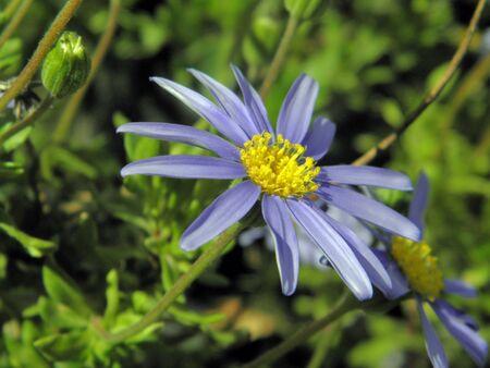 azul: flor azul   Stock Photo