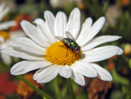 naturaleza: fly on a flower