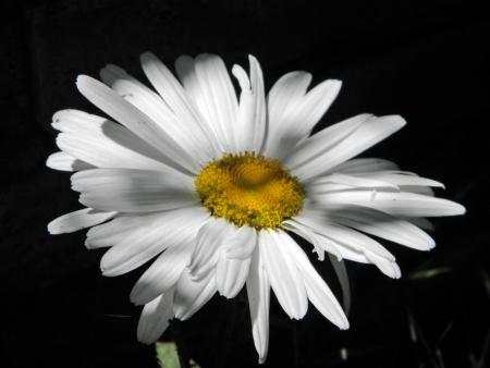 Flor de la margarita Foto de archivo - 13910917