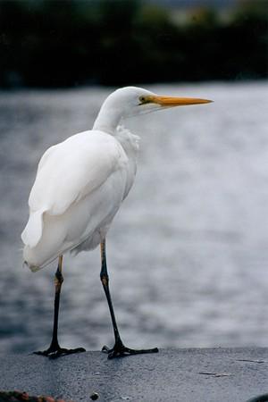 Egret in Milford Sound