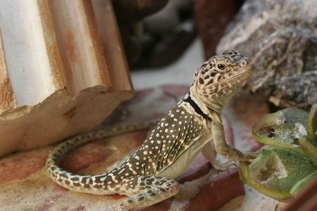 long and short scales: a small yellow-brown lizard in a terrarium