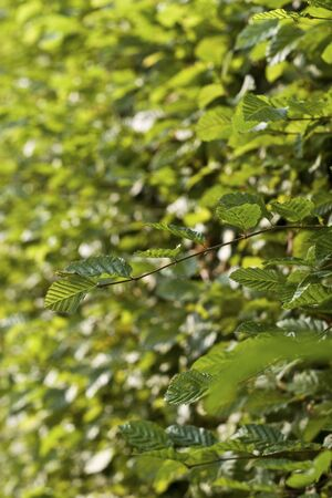 corylus: close up shot of a leaf at a hazelnut bush with a shallow DOF Stock Photo