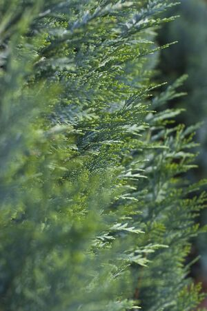 thuja occidentalis: macro shot with shallow DOF of healthy arborvitae (Thuja occidentalis) Stock Photo