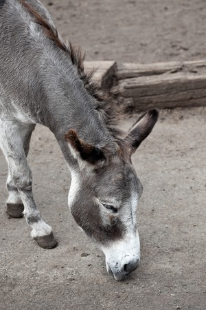 Head of a donkey on a farm in Germany Stock Photo - 7958492
