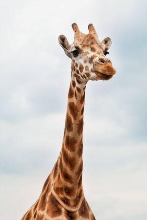 giraffa camelopardalis: Head of a Giraffe in the wild against the sky