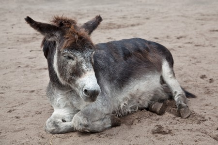 very old donkey lying in the sand photo