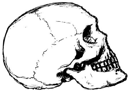 cranial skeleton: Skull Profile