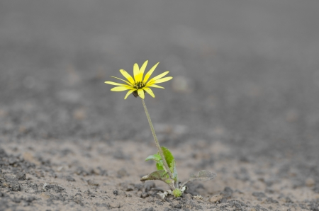 surviving: Single yellow flower surviving drought on arid barren soil in agricultural countryside, isolated with blurred background and copy space