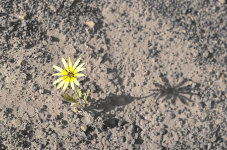 Single yellow flower surviving drought on arid barren soil in agricultural countryside of Western Australia