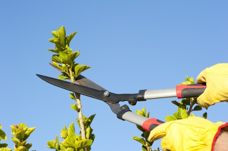 pruning shears: Hands with gloves of gardener doing maintenance work, pruning branch of hedge, bush or tree with garden scissor, isolated with blue sky as background and copy space. Stock Photo