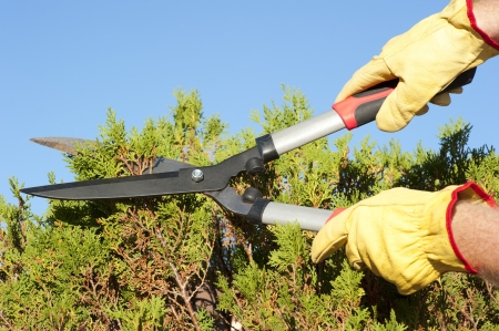 Hands with gloves of gardener doing maintenance work, pruning branch of hedge, bush with garden scissor, isolated with blue sky as background and copy space. Stock Photo