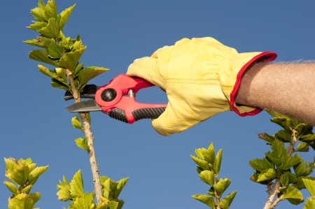 Hands with gloves of gardener doing maintenance work, pruning branch of hedge, bush or tree with garden scissor, isolated with blue sky as background and copy space. Stock Photo