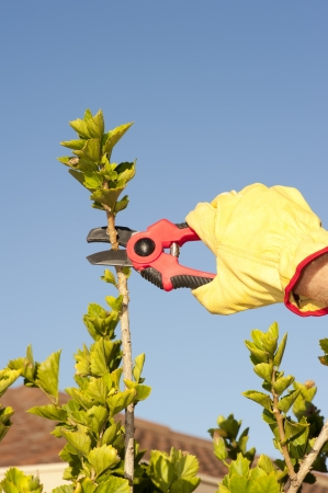 Hands with gloves of gardener doing maintenance work, pruning branch of hedge, bush or tree with garden scissor, isolated with blue sky as background and copy space. photo