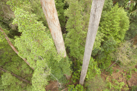 eucalyptus trees: Downward view on two straight tall trunks of eucalyptus trees in remote wilderness rainforest Tasmania, Australia, with green bushes and copy space. Stock Photo