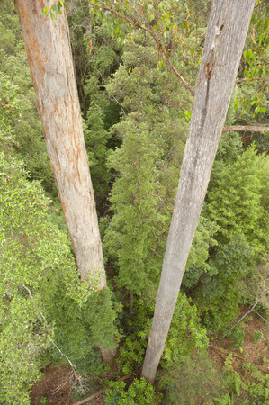 eucalyptus trees: Downward view on two straight tall trunks of eucalyptus trees in remote wilderness rainforest Tasmania, Australia, with lush green bushes and copy space.