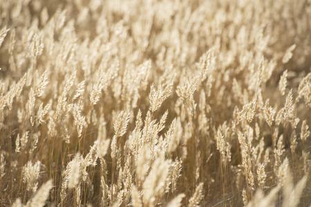 golde: Summer wheat flowers in bright golden twilight sunshine