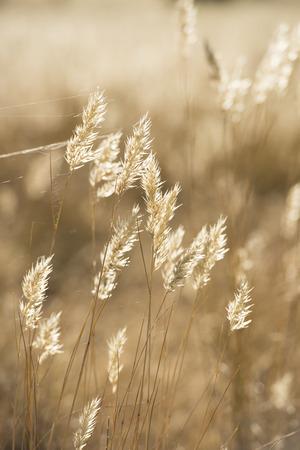 golde: Summer grass flowers in bright golden twilight sunshine Stock Photo