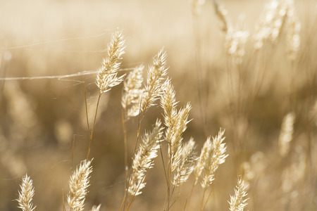 golde: Summer wheat flowers in bright gold shimmering twilight sunshine