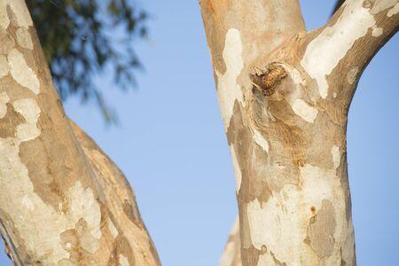 outback australia: Detail of eucalyptus tree in outback Australia
