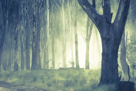 eerie: Shining light through eerie mystic spooky fog shimmering in the woods of dark forest. Stock Photo