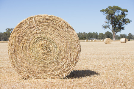 agricultural area: Rolled up hay bales on wheat field or dry meadow after harvest in rural agricultural area Stock Photo