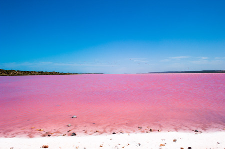 lake shore: Scenic panoramic view of colorful Pink Salt Lake in Western Australia, caused by algae, with flock of birds flying over water, blue sky, horizon, copy space.