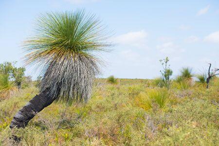 buisson: Xanthorrhoea Grasstree Outback Australie, avec buisson, ciel bleu, horizon comme arrière-plan flou, copie espace