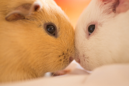 domesticated: Close up two domesticated guinea pigs cuddling, blurred background.