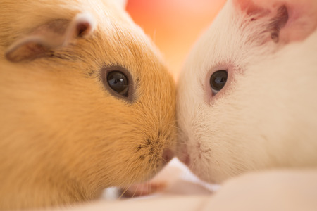 domesticated: Close up furry domesticated guinea pigs cuddling face to face, blurred background.