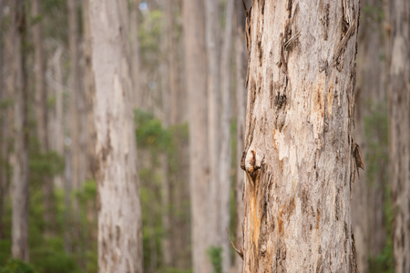 scarred: Karri Tree Eucalyptus Forest in the southern region of Western Australia, blurred background, copy space.