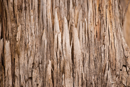scarred: Close Up beautiful texture and pattern of karri tree eucalyptus bark in Western Australia, nature backdrop, natural wallpaper, copy space.