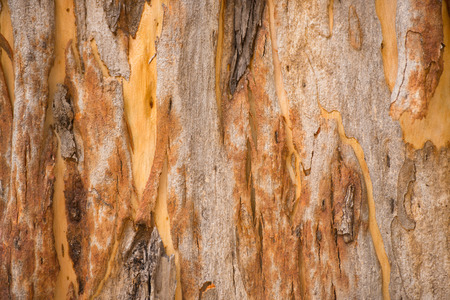 bark background: Close Up colorful texture and pattern of karri tree eucalyptus bark in Western Australia, nature backdrop, natural wallpaper, copy space.
