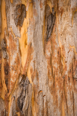 scarred: Close Up colorful striped texture and pattern of karri tree eucalyptus bark in Western Australia, nature backdrop, natural wallpaper, copy space. Stock Photo