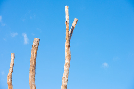blue summer sky: Conceptual image of isolated many tall dead tree stems, with summer sunny blue sky as background. Stock Photo