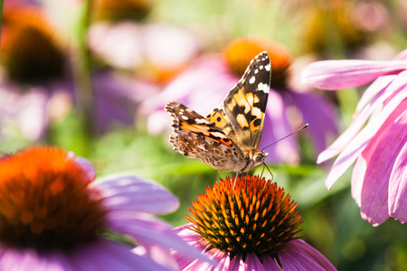 Painted lady butterfly on a purple coneflower. Closeup view of a colorful Vanessa cardui butterfly on a purple coneflower. The butterfly is also known as cosmopolitan
