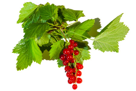 A branch of red currant berries, green wet leaves, isolated against white background.