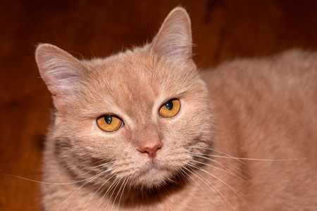 Closeup view of seriously looking fawn-colored or beige color cat against dark brown background