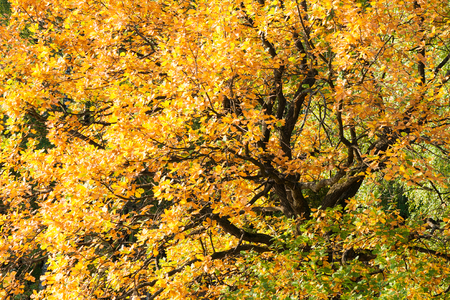 Sunlit yellow or golden color foliage of an oak tree in the autumn forest. Nobody around. Oak tree symbolizes might, good luck and health. Stock Photo