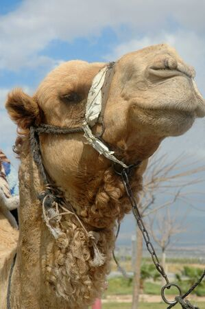 A close-up of a camel, a beast of burden, used for tourist entertainment in Jerusalem, Israel Foto de archivo