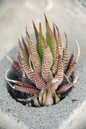 Common Southern Califormia succulent with spiny, tiger-striped leaves