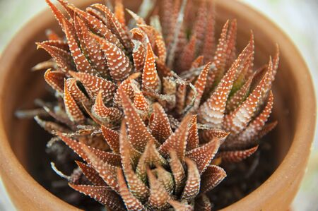 A close-up of the beautiful succulent with rust-colored leaves known as the Haworthia Cactus Foto de archivo