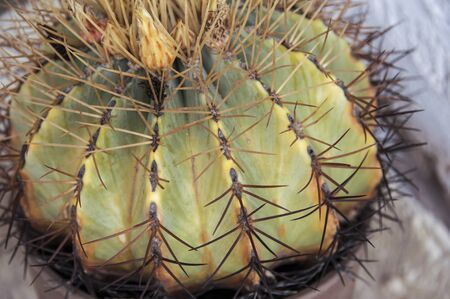 Very prickly echinopsis pachanoi succulent also known as the San Pedro cactus