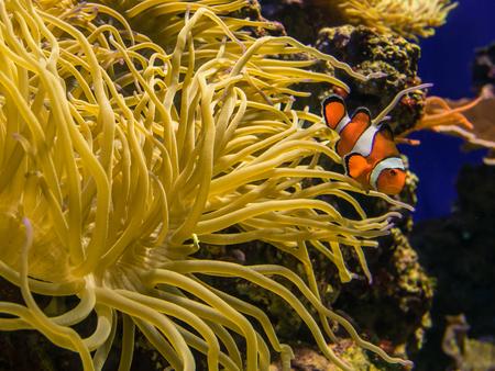 clown fish swimming around sea anemone Stock Photo