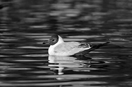 Seagull Picture in tha lake of Aarhus university campus