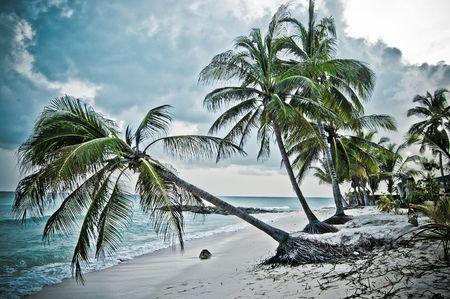 barbados: Barbados Palms