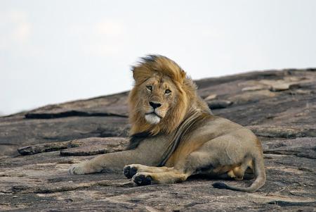 masai mara: Lying on a rock lion in the Masai Mara Reserve in Kenya
